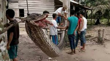 Shocking Video of Giant Python Eating an Indonesian Woman Will Freak You Out: Disturbing Images of Human Body Found in Big Snake's Belly