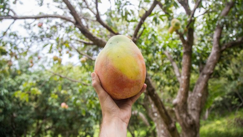 Kohitur Mango, Which Sells at Rs 1500 a Piece, Should be Accorded GI Tag: West Bengal Government