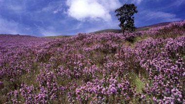 Neelakurinji Flowers to Bloom This August After 12 Years at Kerala's Eravikulam National Park; Online Ticket Booking Begins