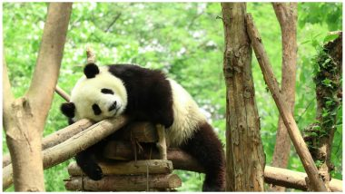 22,000-Year-Old Fossil From China Reveals Long-Lost Panda's Origin