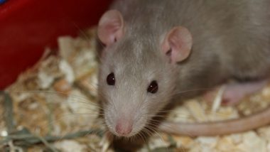 Criminals Using Dead Rats to Smuggle Drugs Into UK Prison