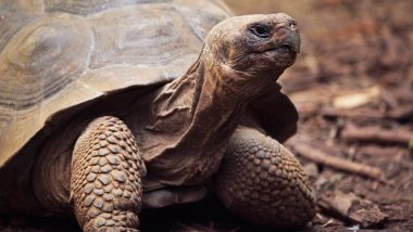 100-Year Old Tortoise Tries to Run Away, Covers Only 1.5 Kilometers in One Week