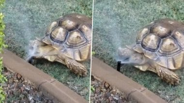 Tortoise Cools Off The Heat by Enjoying Water Sprinkler, Watch The Cute Video From Arizona