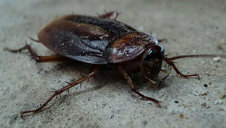 Live Cockroach Removed from a Man's Ear Canal After It Crawled While He Was Asleep, Watch Viral Video