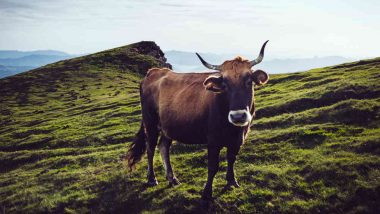 Pregnant Cow Goes Over EU Border, Sentenced to Death for 'Illegally' Wandering