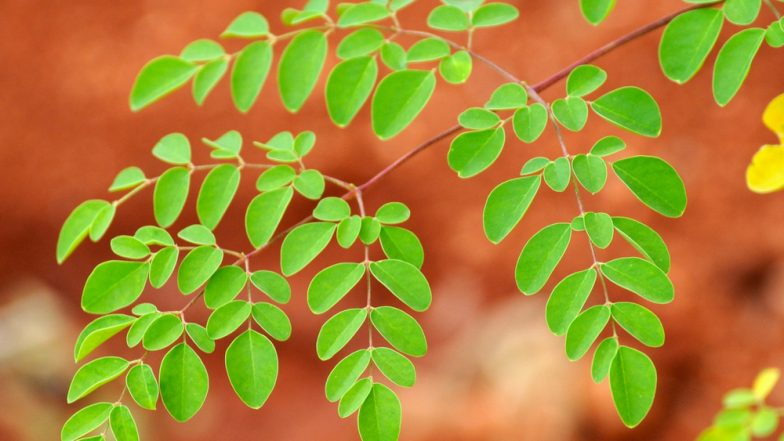 Health Benefits of Moringa Oleifera or Drumstick Leaves That You Should Know Of