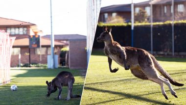 Kangaroo Enjoying on Football Pitch in Australia Will Take Away Your Monday Blues, Watch Pics and Video