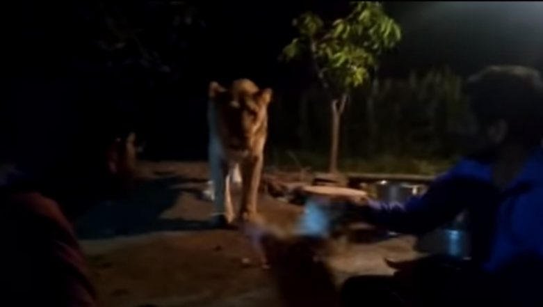 'Pride of Gujarat' Asiatic Lioness In Gir Forest Being Harassed by Locals is Caught on Camera, Watch the Shocking Video