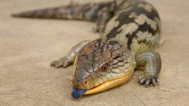 6 New Lizard Species Discovered in Northeast India