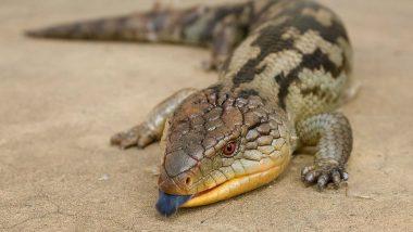 Australian Lizard's Bright UV Tongue Scares Away Predators; Watch Video of Electric Blue-tongued Skink!