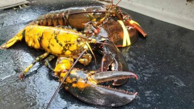 Rarest Lobsters in The World: One in 30 Million Yellow Lobster Found in New England, View Pics!