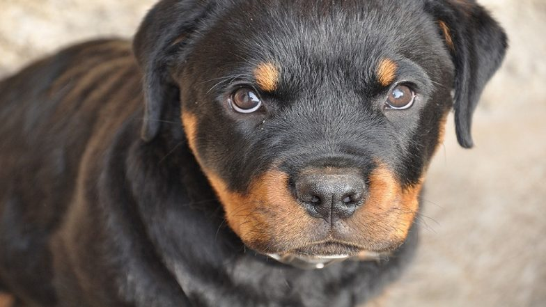 Two Rottweiler Dogs Attack 10-Year Old Boy in a Ghatkopar Society in Mumbai, Sustains Wound in Various Parts of Body