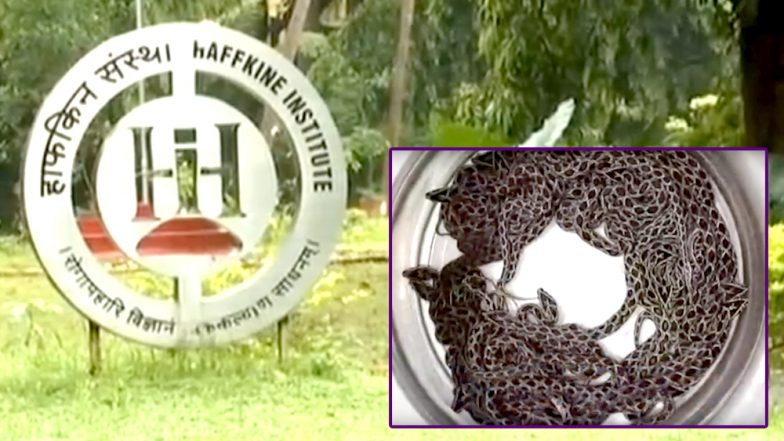 Russell's Viper Snake Gives Birth to 36 Baby Snakes at Mumbai's Haffkine Institute
