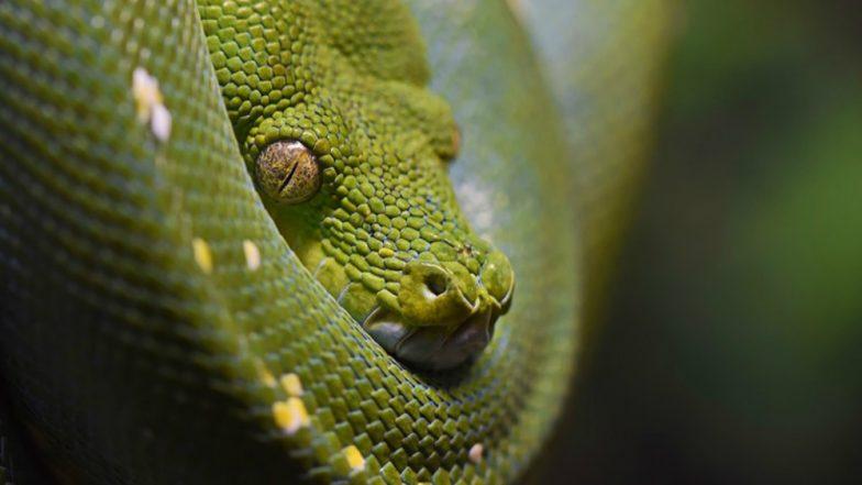 10-Feet Snake Found in Hospital in Odisha's Baripada, Watch Rescue Video