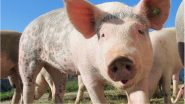African Swine Fever: Three of 87 Samples of Pigs Test Positive in Tripura, Authorities To Cull All Pigs