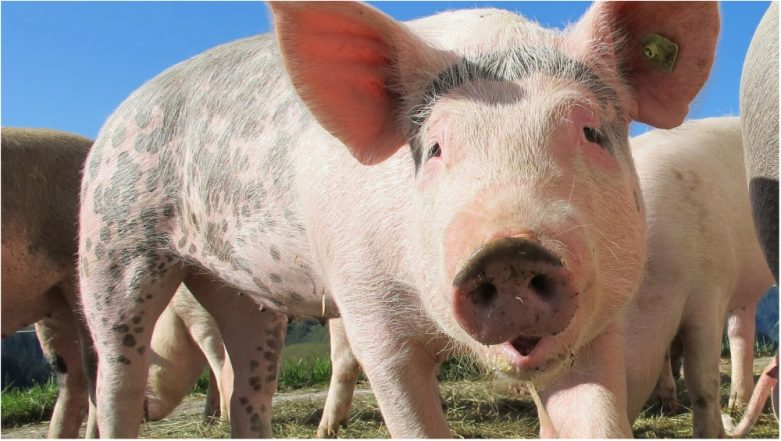 Vietnam Culls 1.2 Million Pigs Over African Swine Fever Outbreak