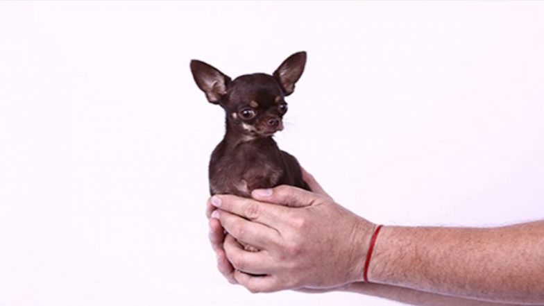 World's Smallest Living Dog, 'Miracle Milly' Is Cloned 49 Times in South Korea's Laboratory, Becomes the Most Cloned Canine