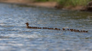 Photo of Mama Merganser Duck and Créche of 76 Ducklings Going for a Swim on Minnesota Lake Is Viral (Watch Video)