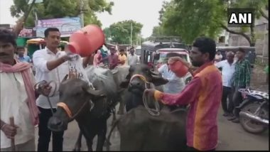 Maharashtra Dairy Farmers Bathe Buffaloes in Milk, Distribute It to Children to Protest State-Wide Strike on Milk Supply