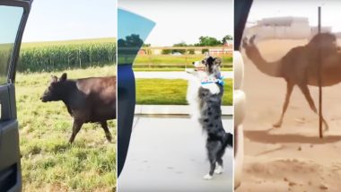 Keke Challenge Is Not Just for Humans! Watch Videos of Cows and Camels Attempting the Viral Dance Challenge