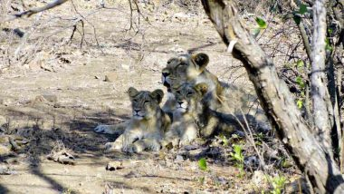 Gujarat's Gir Forest Reserve Where Asiatic Lions Thrive May Soon Become The Next Big Tourist Attraction; Know How
