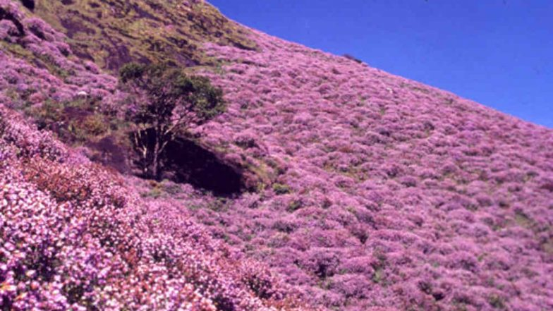 Munnar's Hills in Kerala Adorn Beautiful Neelakurinji Flowers That Bloom Once Every 12 Years; See Pictures