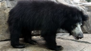 Rajasthan: Sloth Bears Attack 2 Army Personnel, Jawan Killed at Chambal River Bank