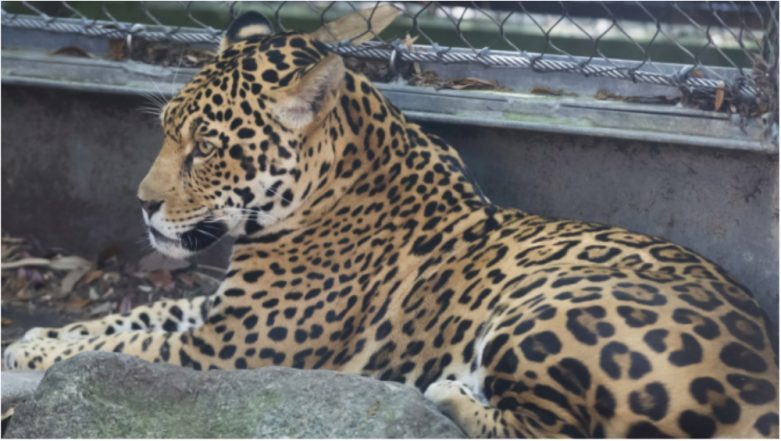 Three-Year-Old Jaguar Escaped from New Orleans Zoo, Killing at Least Six Other Animals