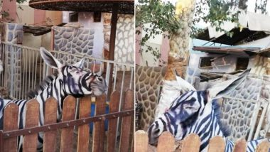 Zoo in Cairo Paints Donkeys Black and White to Pass Them Off As Zebras, Director Denies They Are Fake!