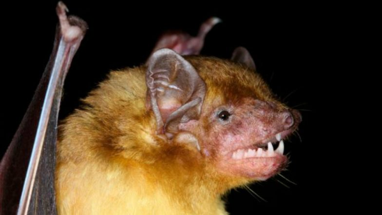 Two Adorable Lemon-Yellow Bat Species Discovered by Scientists in Kenya