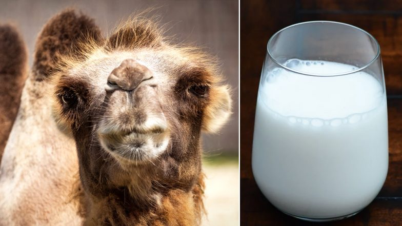 Amul is Making Camel Milk Chocolates, Know the Health Benefits & How is it Different From Cow Milk
