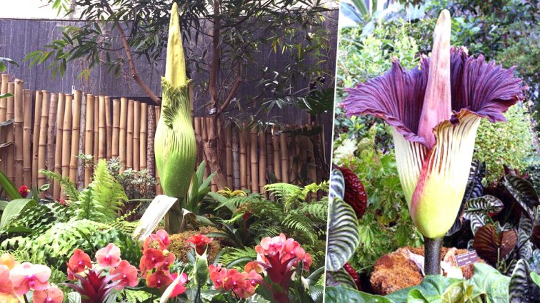 Giant and Stinkiest 'Corpse Flower' is About to Bloom in Vancouver Soon