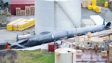 'Rare' Blue Whale Caught and Killed by Icelandic Whaling Company