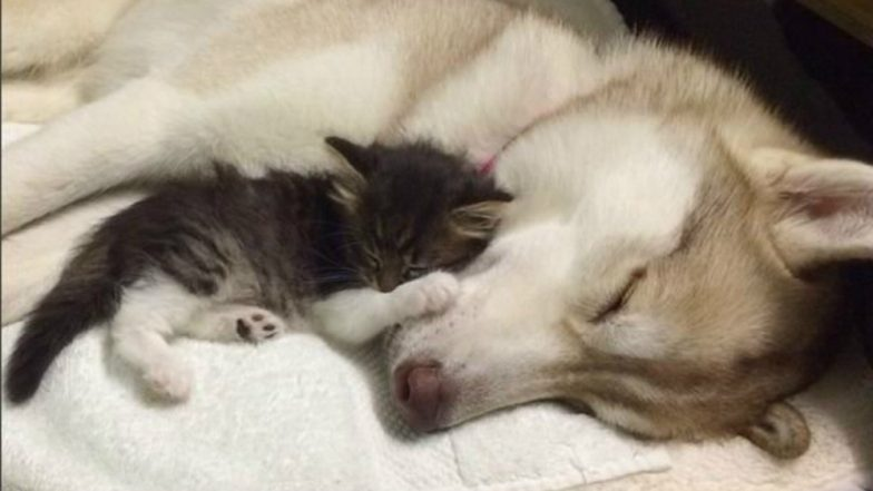 Husky Dog Saved Seven Kittens From Dying and Now Acts Like Their Mother