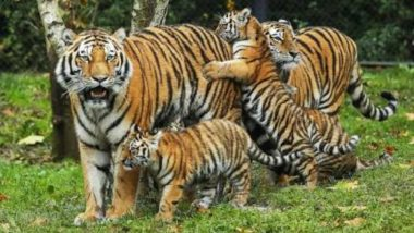 International Tiger Day 2018: Twitter Participates to Raise Awareness for Tiger Conservation on Global Tiger Day