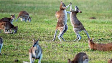 Kangaroos in Southeastern Australia Are Acting Drunk; Here's Why (Watch Video)