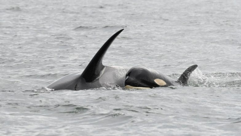 Mother Orca Mourns Over Baby's Death! Carries Dead Calf for Fifth Day; View Pic