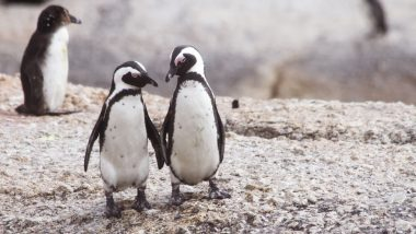 Here's How Penguins Give Humans Ultimate Relationship Goals! Watch This Romantic Video