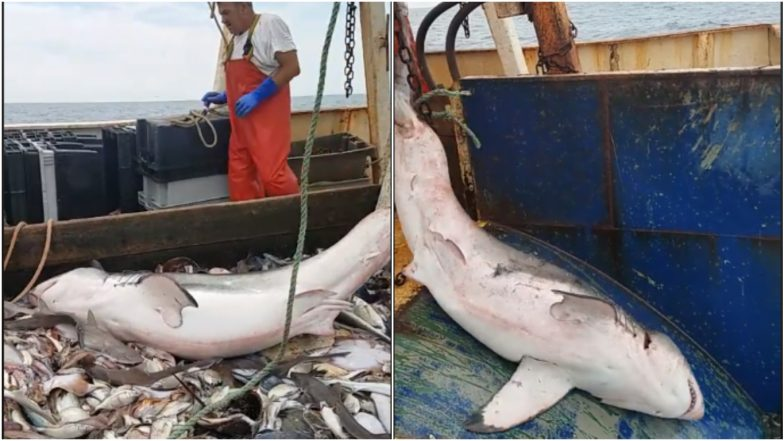 Fishermen Catch Shark in Fishing Net, Release it Back in Ocean Within Minutes, Watch Video