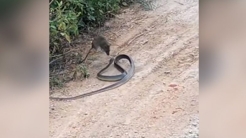 Rat Fighting Off a Snake In This Video is Shocking Yet Filled With Amazing Life Lessons