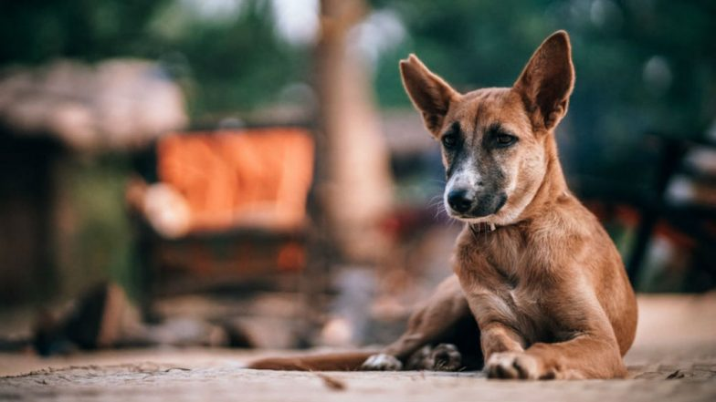 Telangana: 100 Stray Dogs Poisoned in Hyderabad, Case Registered