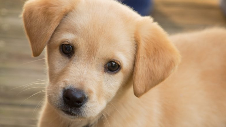 US Woman Dies After Being Nipped At By Her New Puppy; Here's What You Should Know About Capnocytophaga