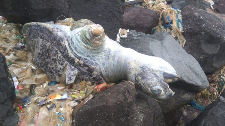 Olive Ridley Turtle Found Dead After Reportedly Hitting the Rocks in Mumbai's Versova Beach