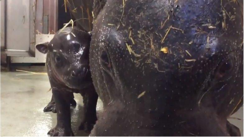 Rare & Endangered Pygmy Hippopotamus Born in Toronto Zoo (Watch Video)