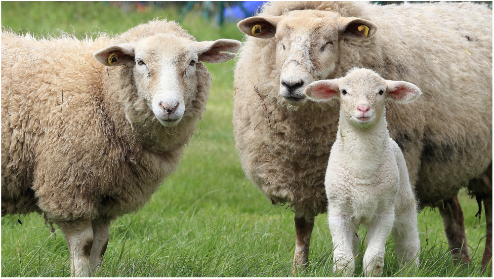 Sheeps Go on 'Crazy Sex Drive' After Drinking Water Spilled With Viagra in Ireland
