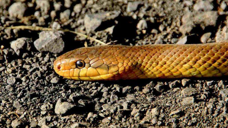 Maharashtra: Sand Boa Snake Worth Rs 50 Lakh Seized in Panvel, One Held