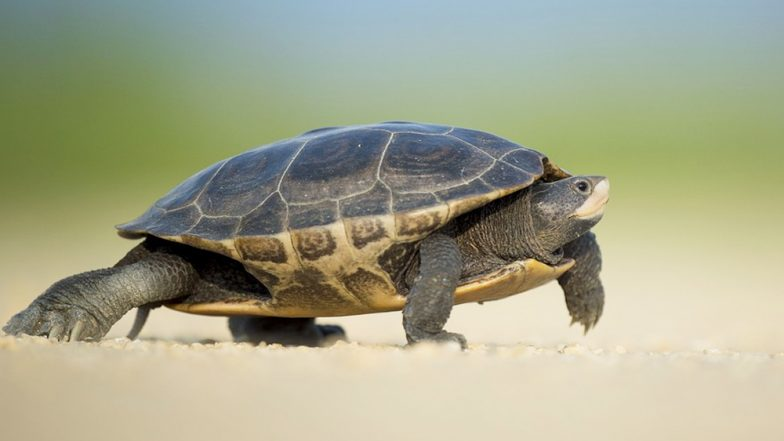 How Did Turtles Get Their Shell? Ancient Fossil With No Shell Tries to Solve The Mystery of Turtle Evolution