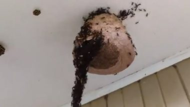 Army Ants Build Bridge to Attack Wasp Nest! Amazing Piece of Engineering Captured in Viral Video