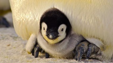 Mumbai to Welcome India's First Baby Penguin in Byculla Zoo on Independence Day?