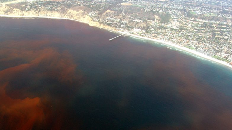 Is Brown Tide Dangerous? Scientists Are Fearing Superbloom Due to Merging With Red Tide in Florida
